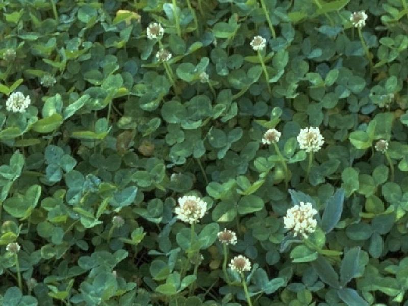 white dutch clover identifying lawn weeds