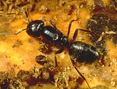 queen ant colony for sale