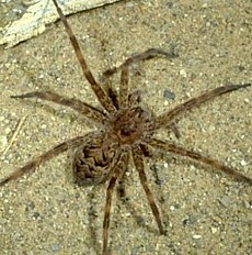 Nursery web fishing spiders of kentucky university of for Fishing spider michigan