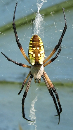 Orb Weavers of Kentucky University of Kentucky Entomology