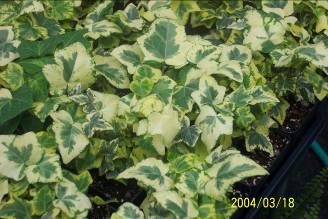 Ky Garden Flowers Hedera To Heliotropium