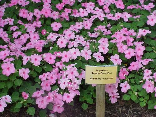 Ky garden flowers iberis to iris mightylinksfo