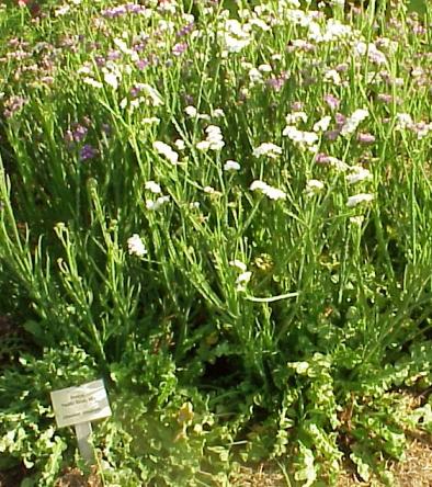 Ky Garden Flowers Limonium To Lunaria