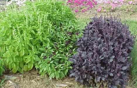 http://www.uky.edu/Ag/Horticulture/gardenflowers/mno.htg/ocimum.jpg