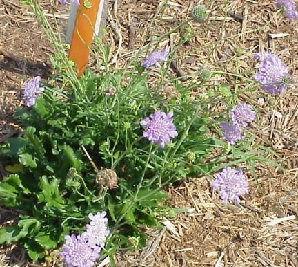 Ky Garden Flowers Sagittaria To Scilla