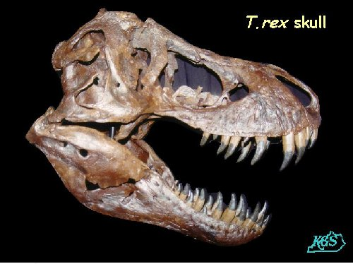 The T Rex A Big Chicken The T Rex Is The Ancestor Of