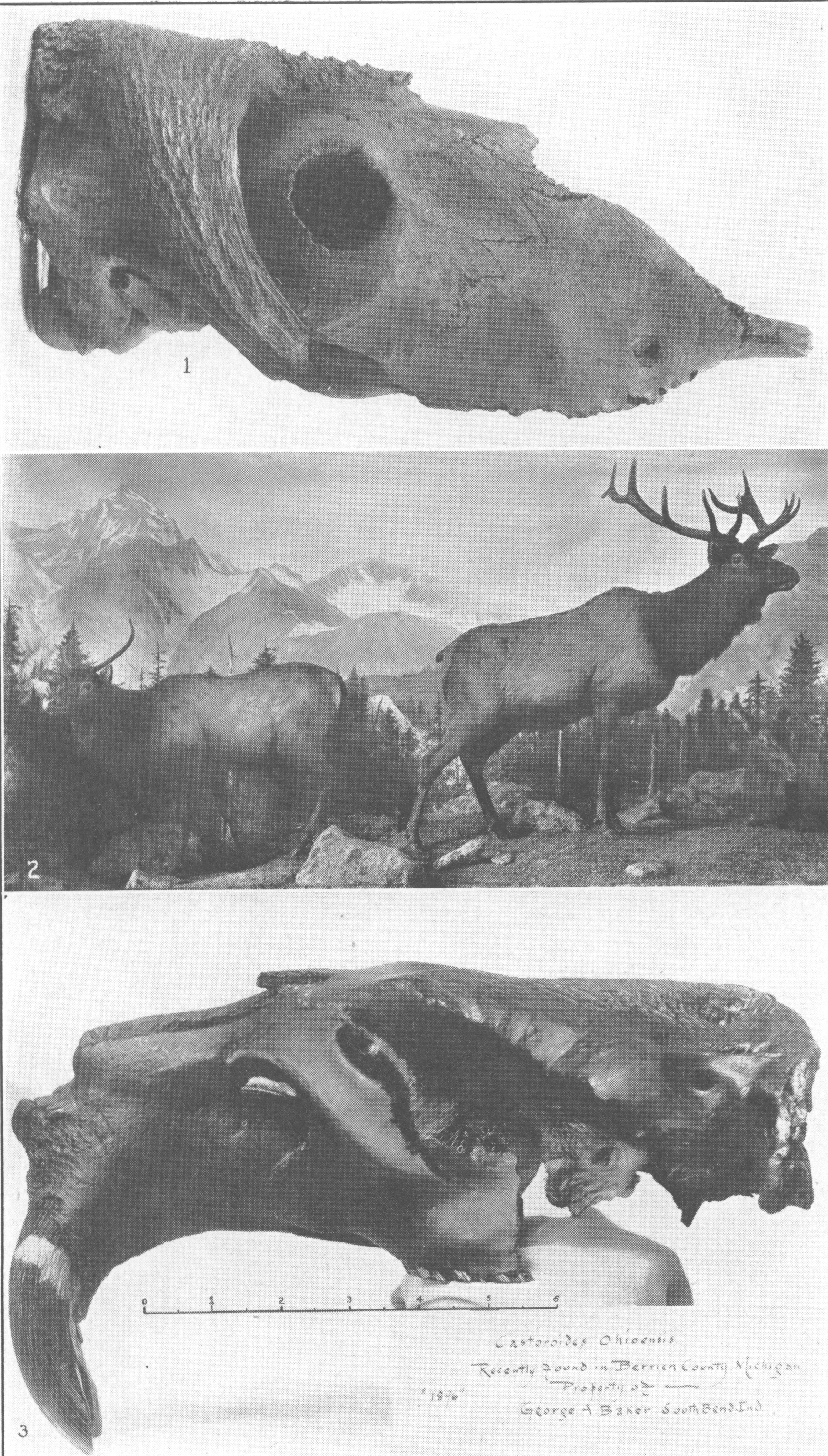 Cervus canadensis . Roosevelt elk, a living species which has been ...