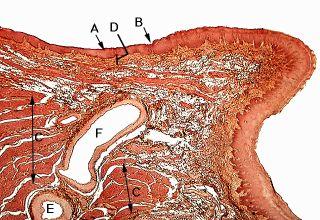 Oral Histology Digital Lab Mucosa High Power Sagittal