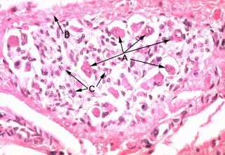 oral histology digital lab glands submandibular ganglion