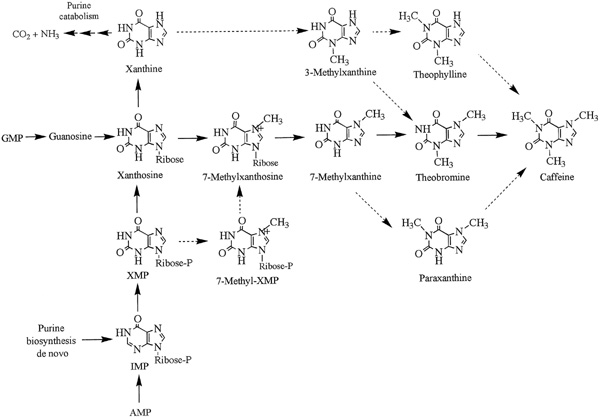 caffeine synthesis Caffeine inhibits aflatoxin synthesis by restricting the uptake of carbohydrates  which are ultimately  that caffeine inhibits growth and polyketide mycotoxin pro.
