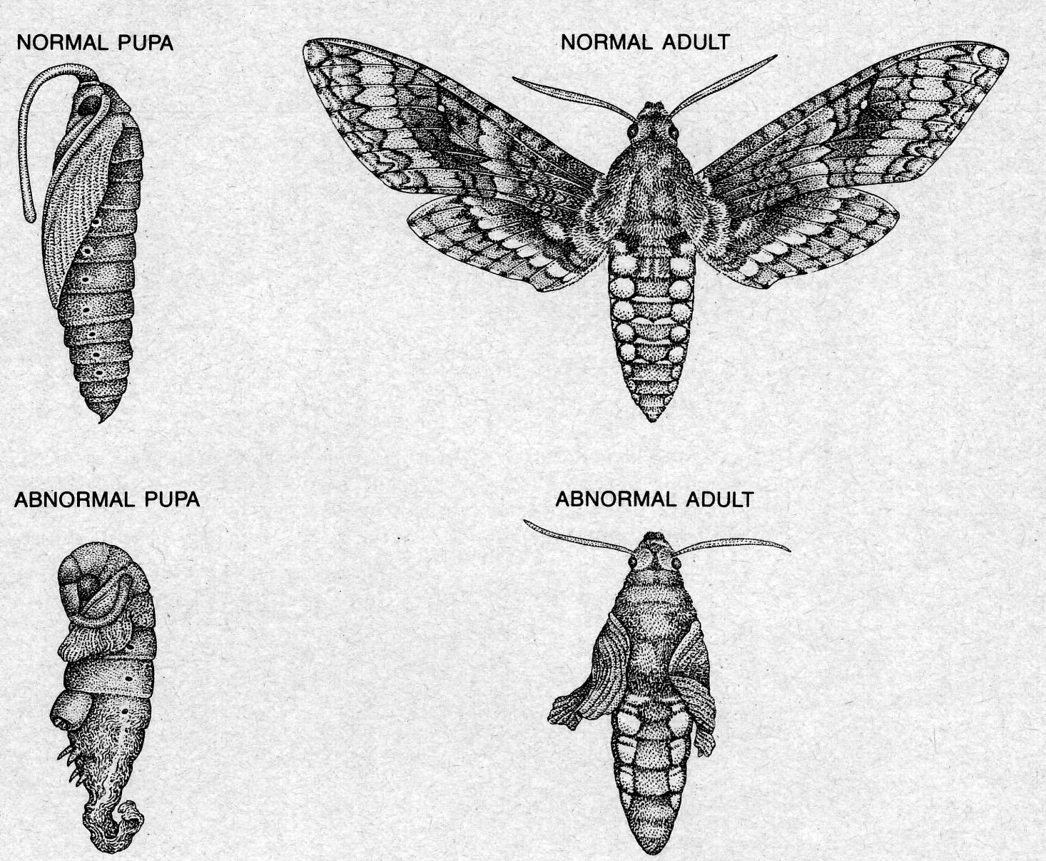 Sphingidae Larvae  top left  larvae given 1 0 mgSphingidae Larvae