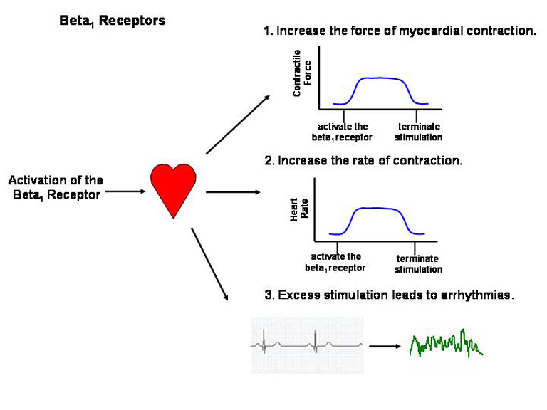 Indeed Excess Stimulation The Beta1 Receptor Can Induce Significant Increases In Heart Rate And Arrhythmias Are A Major Concern With S