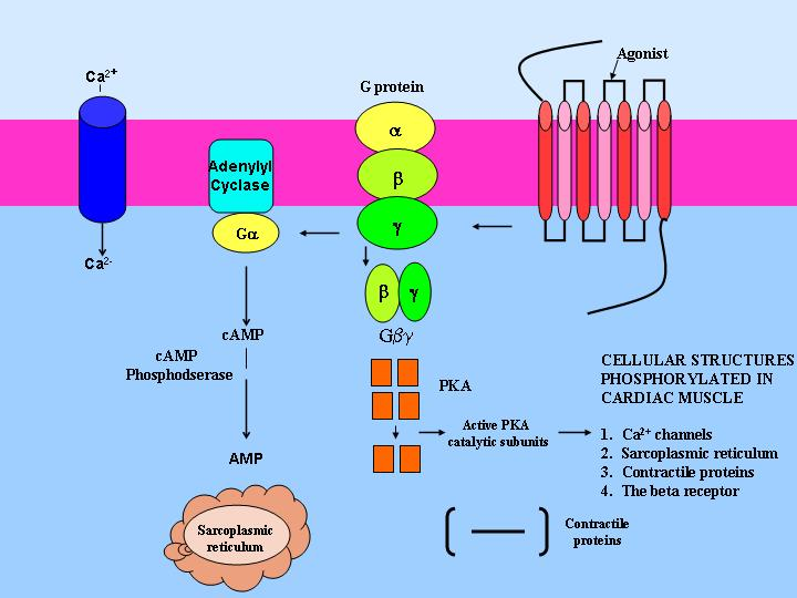 Cellular Signal... G Protein Coupled Receptors Diagram