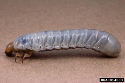 Bess Beetles of Kentucky - University of Kentucky Entomology