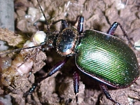 Ground Beetles of Kentucky - University of Kentucky Entomology