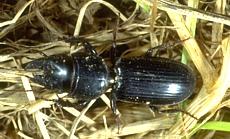 Ground Beetles of Kentucky - University of Kentucky Entomology