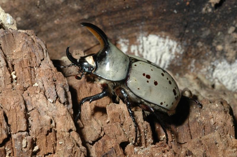 Hercules Beetles of Kentucky - University of Kentucky Entomology
