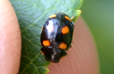Lady Beetles of Kentucky - University of Kentucky Entomology