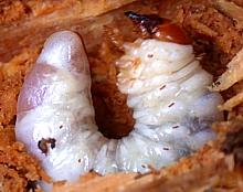 Stag Beetles Of Kentucky University Of Kentucky Entomology