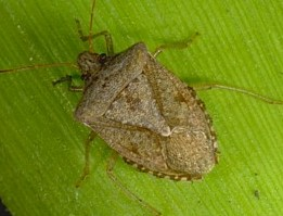 Stink Bugs of Kentucky - University of Kentucky Entomology
