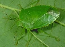 Stink Bugs of Kentucky - University of Kentucky Entomology