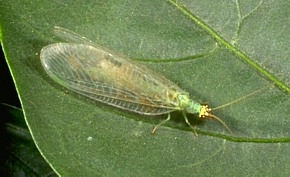 Lacewings of Kentucky - University of Kentucky Entomology