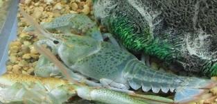 Crayfish of Kentucky - University of Kentucky Entomology