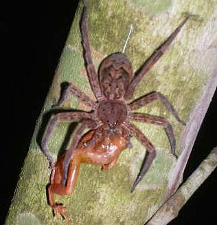 Nursery Web Fishing Spiders Of Kentucky University Of Kentucky Entomology