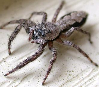 Jumping Spiders of Kentucky - University of Kentucky Entomology