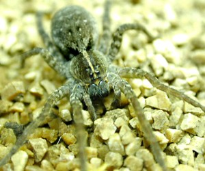 Wolf spider facts wikipedia