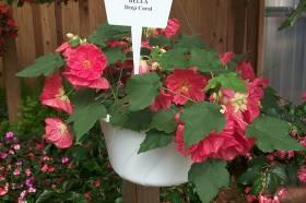 Ky Garden Flowers Abutilon To Ajuga