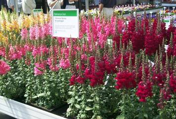 antirrhinum soltice series - Common Garden Flowers