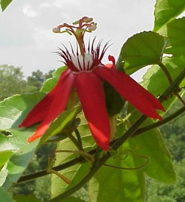 Passiflora incarnata - Passion Flower, Maypops