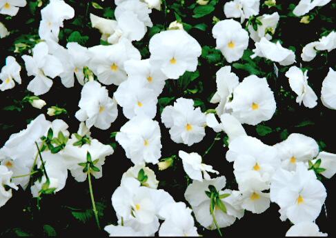 Viola X Wittrockiana Garden Las Delight