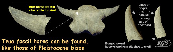 True fossil horns can be found, like those of Pleistocene bison.