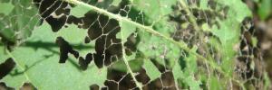 Caterpillar eaten plant leaves