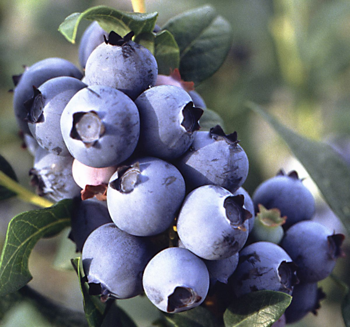 Blueberry fruit on plant