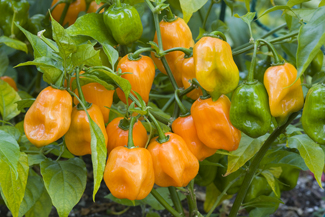 Habanero peppers in the field