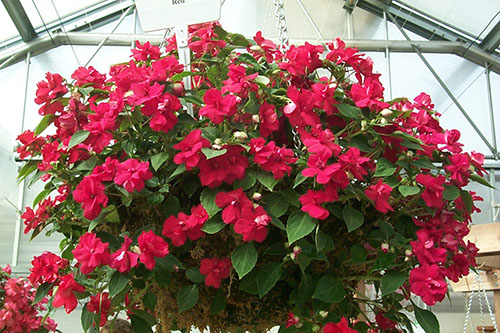 Hanging basket in greenhouse