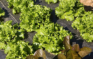lettuce on black plastic