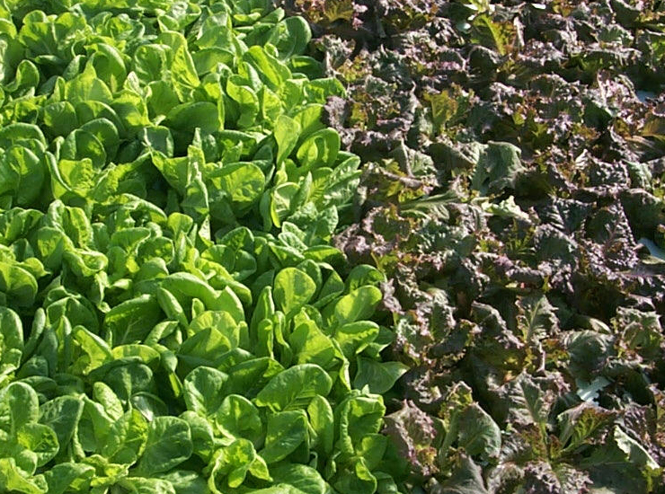 Lettuce in production