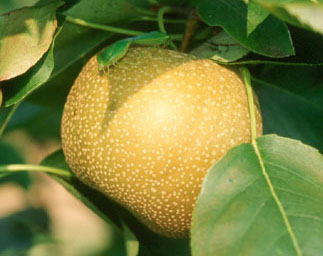 asian pears resistant to fireblight