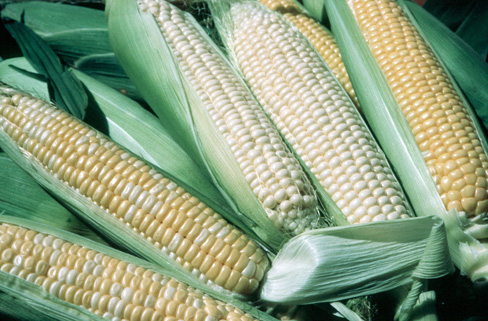 harvested white, yellow and bicolor sweet corn