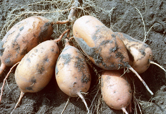 Sweet potatoes just harvested