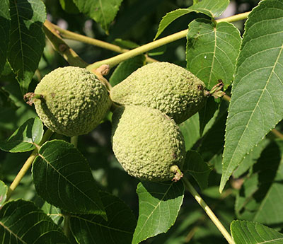 Black Walnuts | Center for Crop Diversification