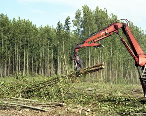 Woody biomass poplar harvest