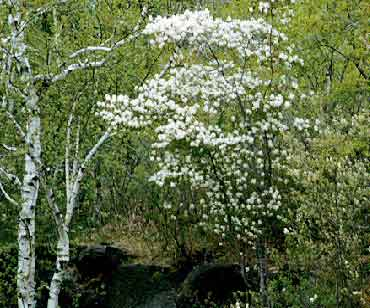 Allegheny Serviceberry Department Of Horticulture