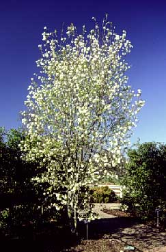 Downy Serviceberry Department Of Horticulture