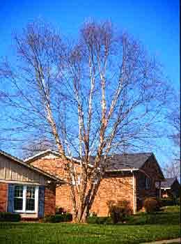 betula-nigra-mature-height-spread-amerikan-pornstars-list