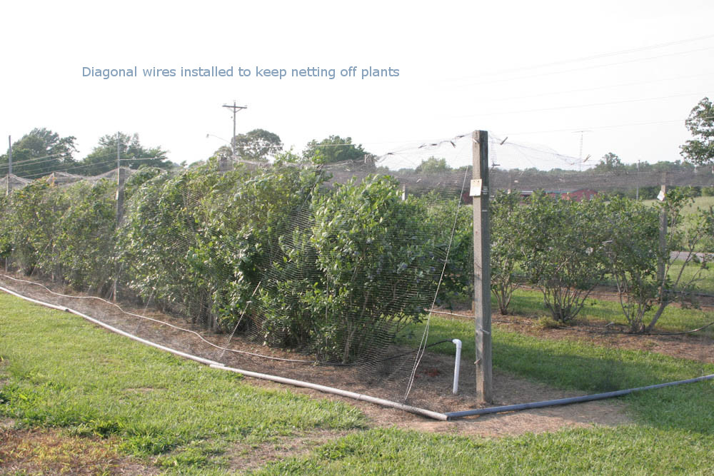 Bird Netting Pictures and Ideas for Bramble and Blueberry Plantings ...